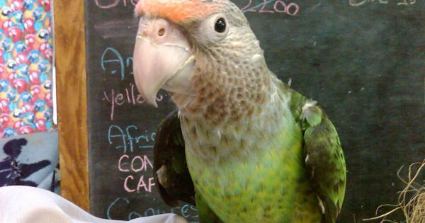 Mind These Tips With Your Rehomed Parrot Via Bob Corrigan Flickr