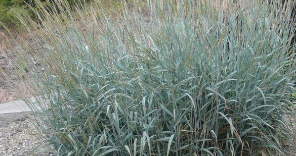 Elymus Glaucus Or Blue Wildrye Native Plants Okanagan