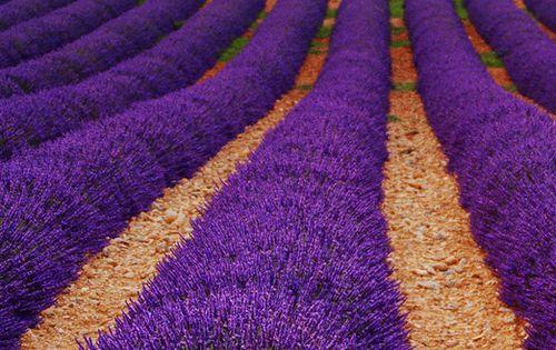 Lavender Fields, Valensole, Provence-Alpes-Côte d'Azur - Visit www.sarahangst.com - fine artist and