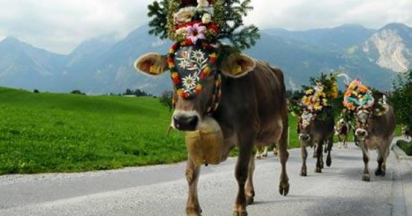 German cows coming home | EVERYTHING GERMAN | Pinterest ...