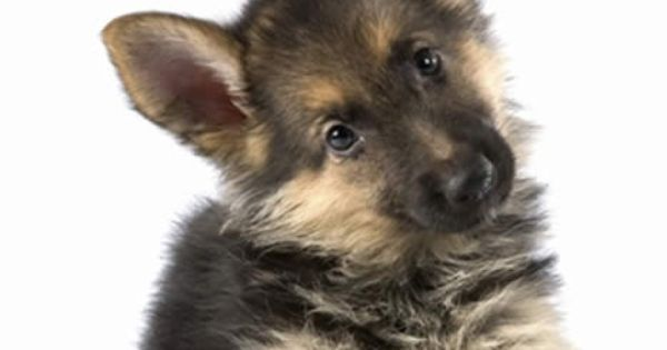 Babies faces and german shepherds on pinterest