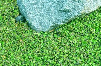 Stepables Com Plants That Tolerate Foot Traffic Ground Cover Plants Ground Cover Ground Cover Flowers