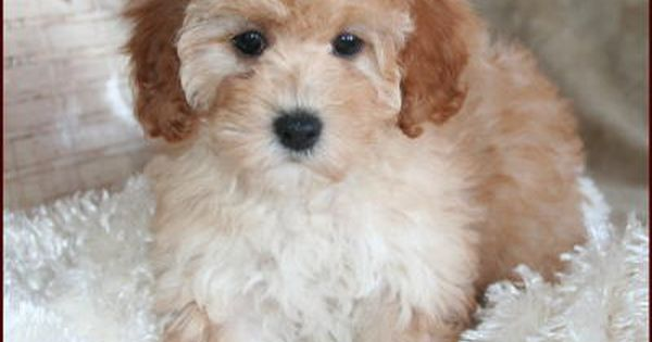 Bi Poo Bichon Fries Is The Best Dog For Older Folks Easy To Potty Train Lots More Poochon Puppies Puppies Poodle Puppy