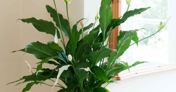 6 houseplants that will survive your busy schedule lily care peace lily and houseplants. Black Bedroom Furniture Sets. Home Design Ideas