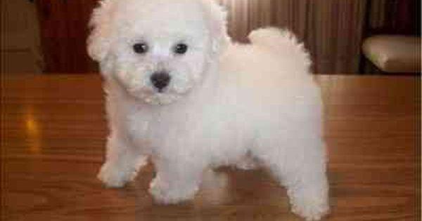 Resultado De Imagen Para Caniches Blancos Bebes Animais