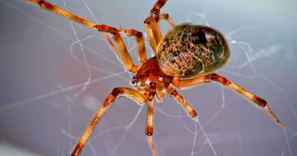 american house spider... The American House Spider is ...