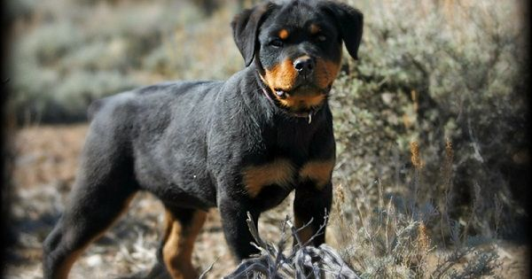 Rottweiler Puppies For Sale In Georgia Zoe Fans Blog Rottweiler Puppies For Sale Puppies Rottweiler Puppies