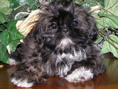 Google Image Result For Http Www Imperialshihtzu Com Cookiejarface Jpg Chinese Imperial Dog Chinese Dog Shih Tzu