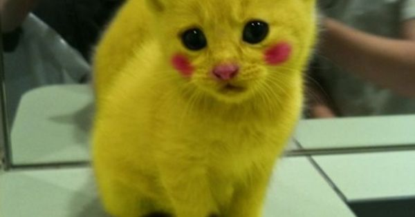 Pikachu cat ( for all those that are upset, this is photoshopped.