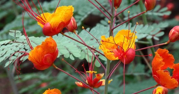 Red bird of paradise (Caesalpinia pulcherrima) at the @Desert Botanical Garden in