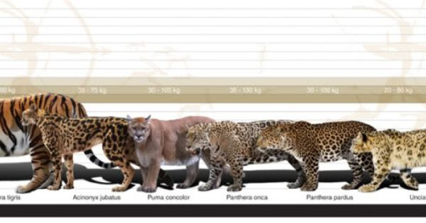 Big Cats Comparative Size