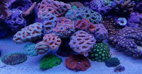 Acan Tree Saltwater Tank Reef Aquascaping Reef Tank