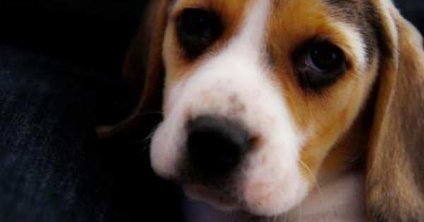 Beagles Are The Dog Of Choice For Vivisection Labs Where Animals