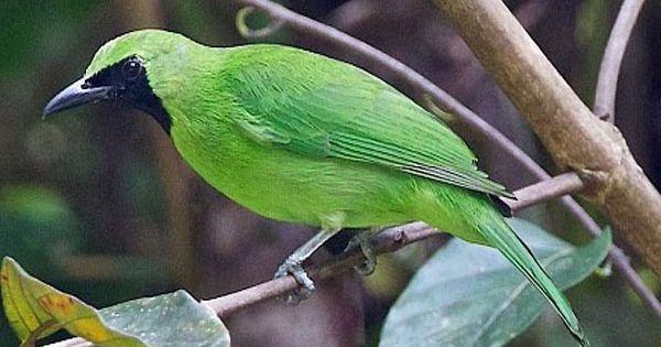 Mp3 Suara Burung Cucak Ijo Gacor Dan Lantang