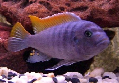 Red top ice blue cichlid 4 6cm aggressive rock for Aggressive fish for sale