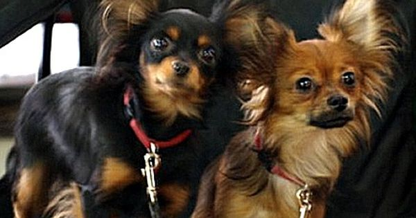 Russkiy Toy Terrier Learn All About This Tiny Devoted Breed Russian Toy Terrier Dog Breeds Dog Lovers