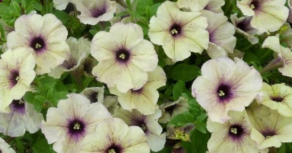 canadian tire trees and shrubs petunia crazytunia twilight lime just picked up a 11966