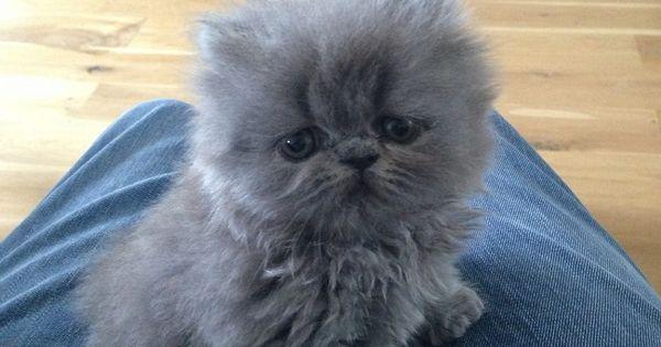 grey blue persian cat ...