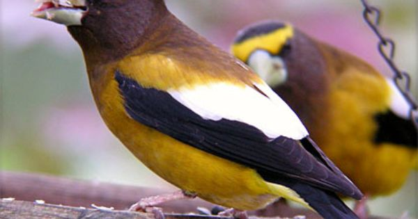 In Most Of U S Most Frequently Seen In Winter Large Headed Finch