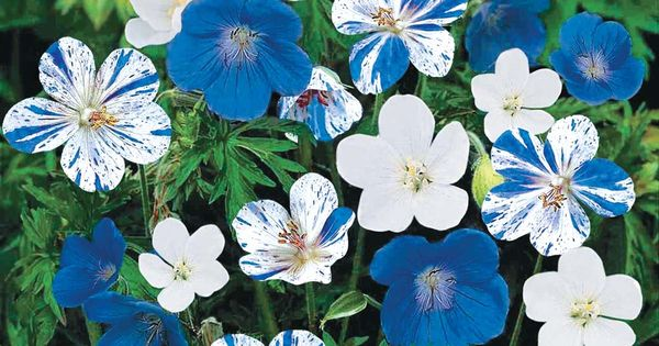 Hardy Geraniums - Blue & White Hardy Everblooming Geranium Mix