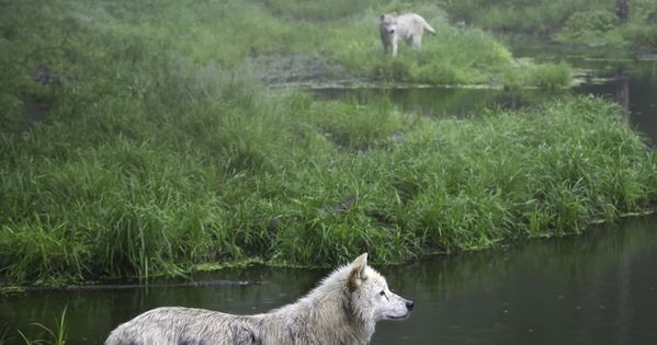 Three beautiful white wolves, hunting, in Quebec, Canada.