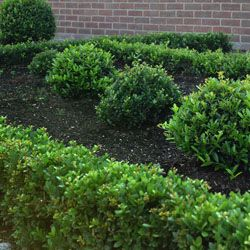 Box Leaved Hedging Hedging Plants Vegetable Garden Design Small Hedges