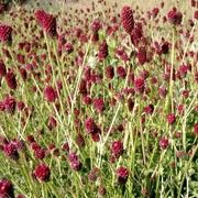 Sanguisorba officinalis Pink Tanna Red Salad Burnett Autumn perennial