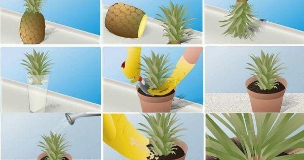 Une id e simple pour faire pousser un ananas chez nous chez soi comment trouver et design - Comment faire pousser un ananas ...