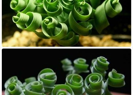 spiral succulent plants | The Interesting & Unusual Succulent Plants | Botanic