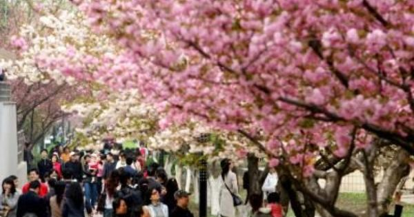 Cherry Blossoms And Japanese Culture Cherry Blossom Quotes Cherry Blossom Meaning Cherry Blossom Tattoo Meaning