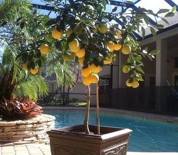 Meyer Lemon Tree Garden And More Potted Trees Meyer Lemon Tree Plants