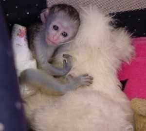 Marvelous Capuchin Monkeys For Sale Dallas Tx Asnclassifieds Capuchin Monkey Monkeys For Sale Capuchin Monkey For Sale