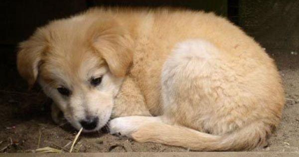 Malone The Retriever Malamute Mix Golden Retriever Husky Mix Spitz Dogs Cute Animals