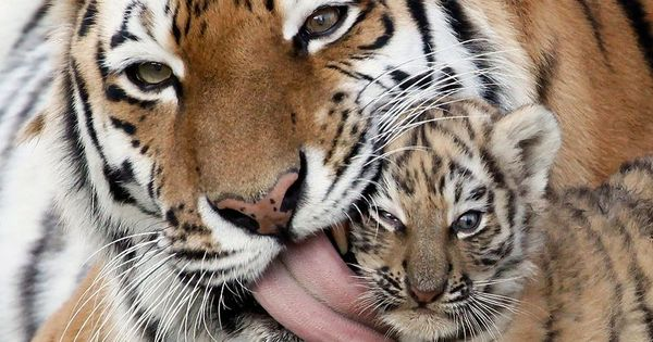 The angriest tiger cub animals tigers