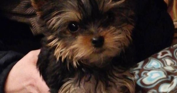 yorkie puppies for sale in michigan puppiesforsale liked on pinterest priceless yorkie 510