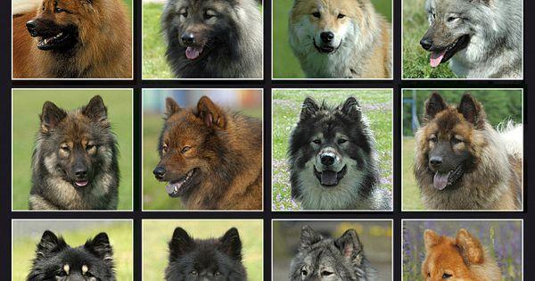 Welpenvermittlung Kzg Eurasier E V Eurasier Hund Eurasier Eurasier Welpen