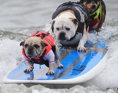 Surf Dogs, Huntington Beach, CA photo by Robyn Beck via guardian.co: The