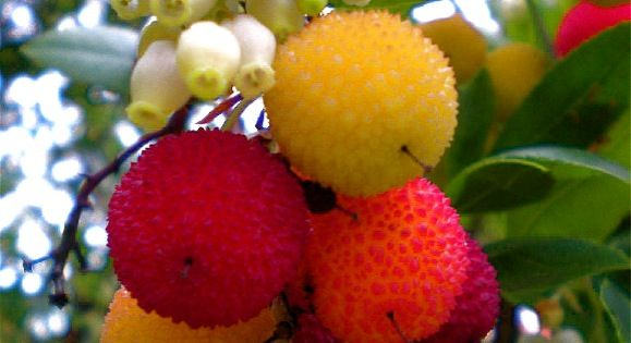 Arbutus Unedo... The Strawberry Tree flowers and edible ... Strawberry Tree Edible