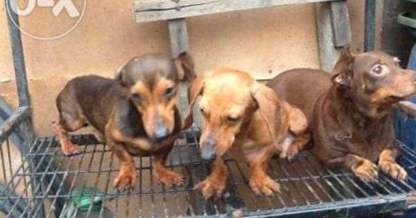 Aww Shih Tsu Want Want Want Shih Tzu Puppy Cuddly Animals Cute Funny Animals