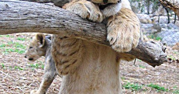 #Lion cub :) (Big Cats) http://dunway.us
