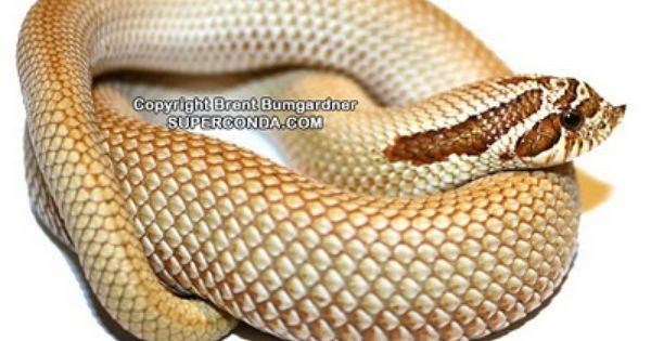 Snakes And More Snakes Photo Of Superconda Hognose Snake Hognose Snake Cute Snake Snake