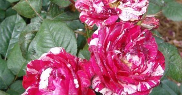 Flower Garden Rose Rose Trees Plants Diy Garden