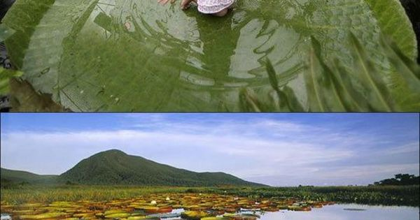 Giant Lily pads, Amazon river | The Giant Water Lily grows in