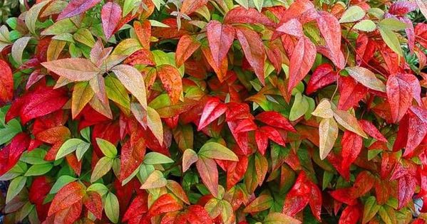 Nandina domestica berberidaceae also known as heavenly for Hearty low maintenance plants