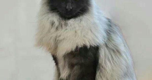 Black smoke norwegian forest cat