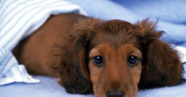 1000 Images About Doxins On Pinterest Hot Dogs Puppys And