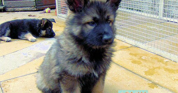 Jen Martins This One Is For You A Malamute German Shepard Cross 3 Cute Baby Animals Malamute Puppies German Shepard Puppies