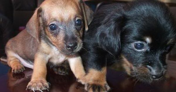 Chiweenies For Sale Cute Chiweenie Puppies Chiweenie Puppies