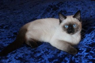 My Love For These Beautiful And Endearing Cats Started At A Young Age Siamese Cats Siamese Kittens Balinese Cat