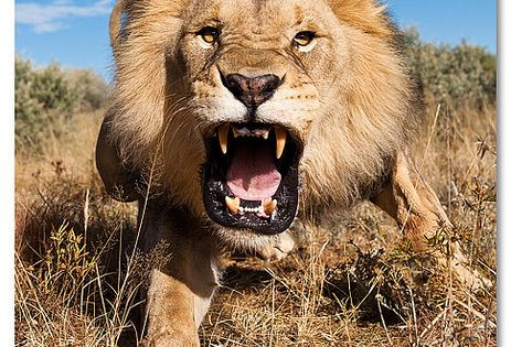 Lion (Panthera leo) at Kalahari Desert, South Africa.